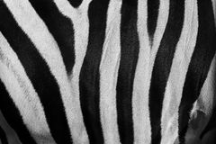 Texture of monochrome zebra skin Royalty Free Stock Image