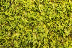 Texture of moss in the forest royalty free stock photos