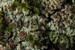 Texture moss lichen Stock Image
