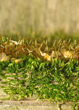 Texture of moss on an old fence as background (focus on moss) Royalty Free Stock Photo