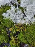 texture of moss and snow royalty free stock image