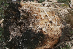 Texture mouldering stump Royalty Free Stock Images