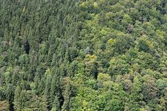Texture of a mountain forest with many green trees. View from hig. H Stock Photo