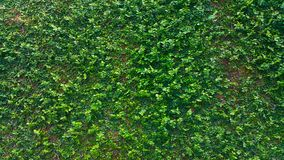 Texture of natural green leaf wall. stock image