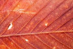 Texture naturelle colorée, feuille sèche et rouge Macro Image libre de droits