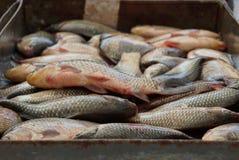 Texture naturelle d'un tas du poisson frais dans une boîte de fer photos stock