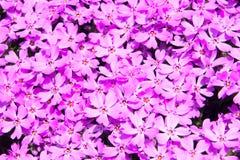 Texture naturelle, mousse de rose de vue supérieure pour la texture de fond Image libre de droits