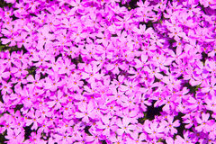 Texture naturelle, mousse de rose de vue supérieure pour la texture de fond Images libres de droits