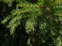 Spruce branches in a coniferous forest. Royalty Free Stock Image