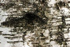 Texture noire et blanche d'écorce de bouleau avec le trou d'oeil image libre de droits