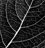 Texture noire et blanche de feuille Photo libre de droits