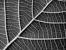 Texture noire et blanche de feuille Photographie stock libre de droits