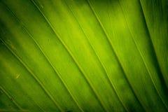 Texture o fundo da folha verde fresca do luminoso Fotografia de Stock