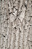 The texture of oak bark. Texture backgrounds for Wallpaper graphics design royalty free stock image