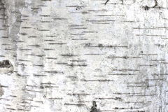 Free Texture Of Birch Bark As Natural Wooden Background Royalty Free Stock Image - 94973036