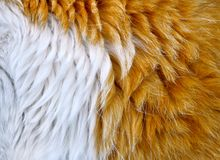 Free Texture Of Cat Hair White With Orange, Close-up Royalty Free Stock Photos - 159817318