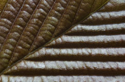 Free Texture Of Leaf Royalty Free Stock Images - 24928259