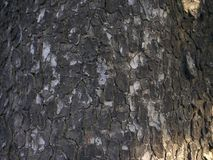 Texture of an old avocado tree bark. Closeup of a very old avocado tree with cracked rind structure royalty free stock photo