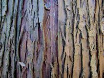 Texture of old bark of thuja tree stock images