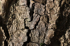 Texture old bark of the tree Royalty Free Stock Photos