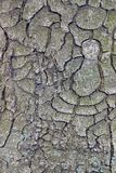 Texture of old bark on the tree Royalty Free Stock Image