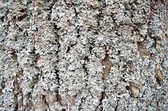 Texture of an old dilapidated voluminous gray tree, bark with cracks and grooves covered with a gray fluffy moss. Background Royalty Free Stock Photography