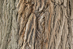 Texture of old and dry tree bark of London Plane tree Royalty Free Stock Image