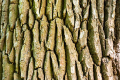 Texture of old oak tree Royalty Free Stock Images