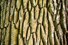 Texture of old oak tree Royalty Free Stock Photography