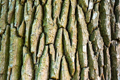 Texture of old oak tree. For background Stock Photography