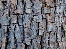 The texture of the old pear bark stock image