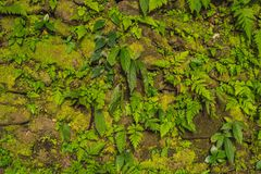 Texture of old stone wall covered green moss in Fort Rotterdam, Makassar - Indonesia.  stock photo