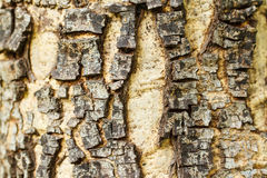 Texture of old tree rind Royalty Free Stock Photo