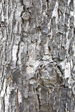 Texture of old tree trunk Stock Images