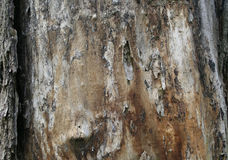Texture of the old tree trunk. Beautiful texture of the old tree trunk Royalty Free Stock Image