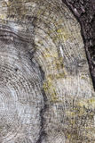Texture old wood with annual rings Royalty Free Stock Image