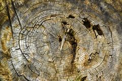 Texture of old wood, old wood cut. Royalty Free Stock Photo