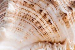 Texture onduleuse de coquillage blanc en gros plan avec des bandes de brun de soulagement Photo libre de droits