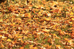 Texture of  orange autmn leaves Royalty Free Stock Photo