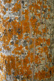 Texture of orange lichen on tree Royalty Free Stock Images