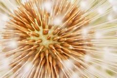 Texture organique de fleur de pissenlit, résumé images stock