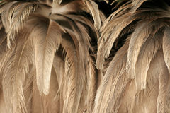 Texture of ostrich plumage Royalty Free Stock Images