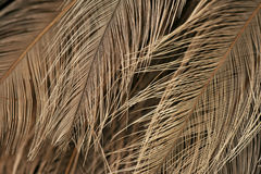 Texture of ostrich plumage Royalty Free Stock Photo