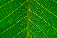 Texture of the outer surface of leaf close-up Stock Image