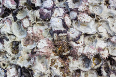 texture of oyster on rock Royalty Free Stock Photos