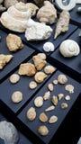 Texture pétrifiée de fossiles d'escargot Images stock
