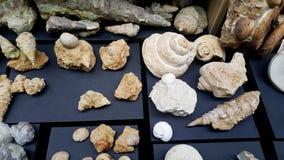 Texture pétrifiée de fossiles d'escargot Images libres de droits