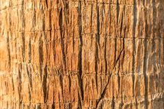 Texture of palm bark macro. Palm tree large trunk detailed structure background and texture of bark. Palm trunk and bark close-up. Rough brown palm tree wood royalty free stock photography