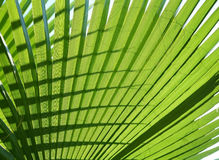 Texture palm leaf Royalty Free Stock Photos