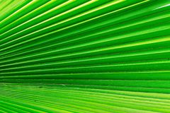 Texture of a palm leaf closeup green color Stock Image